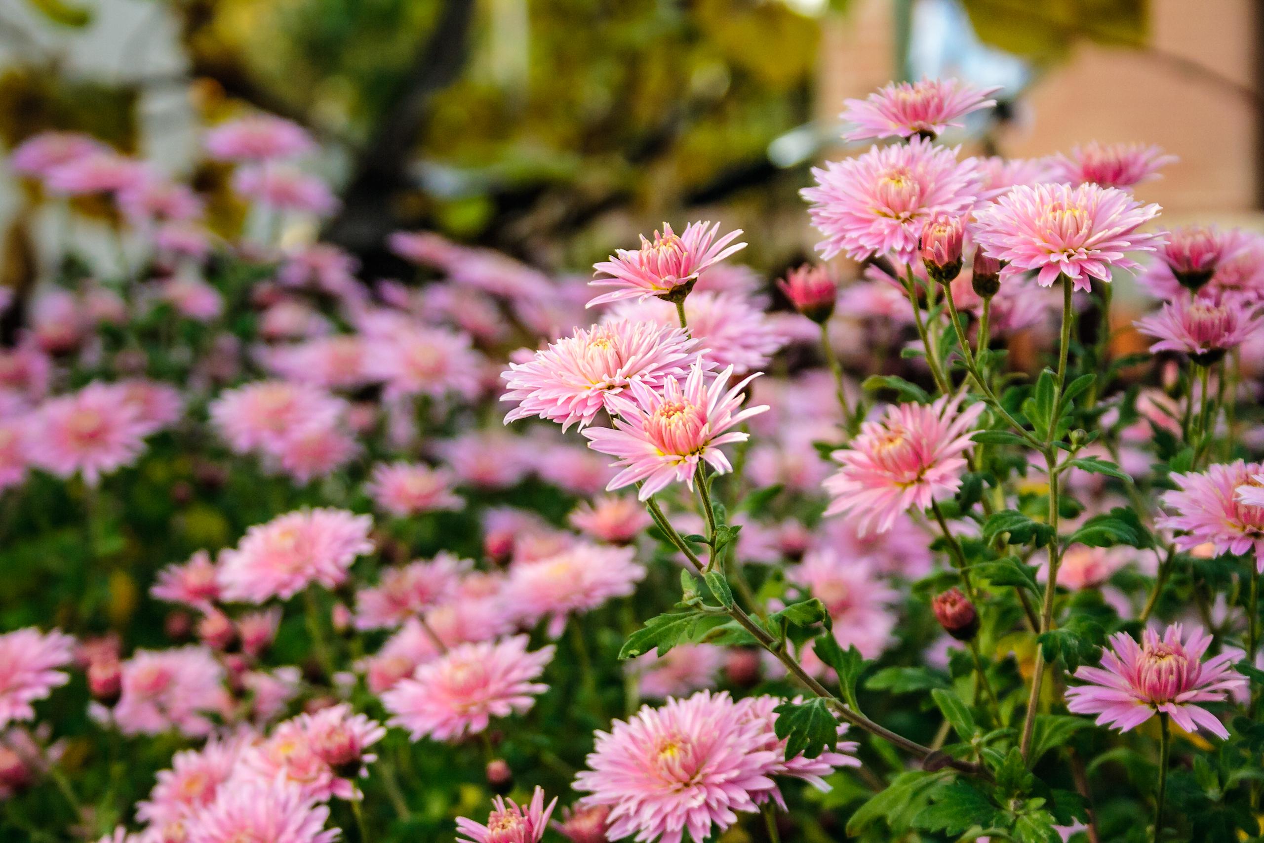 Astry - kwiaty na cały rok