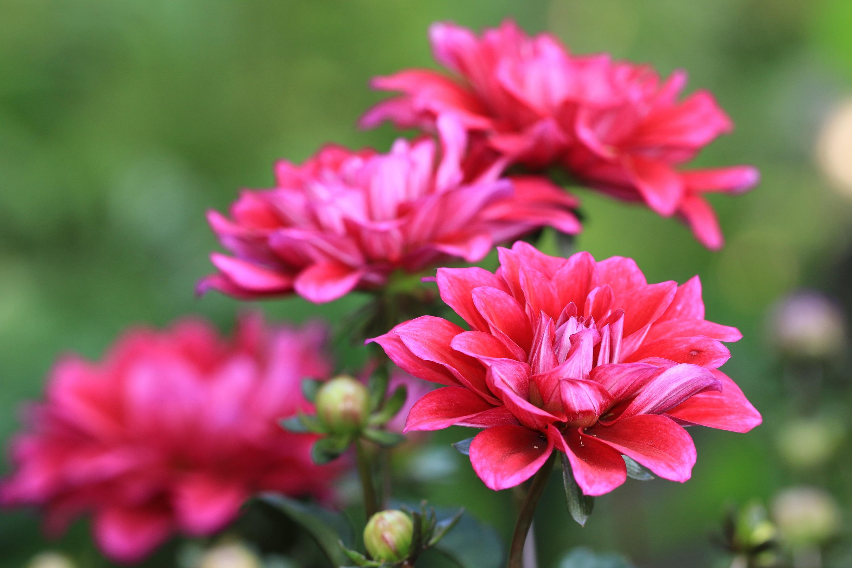 Dalia - jesienne piękno zamknięte w kwiatach