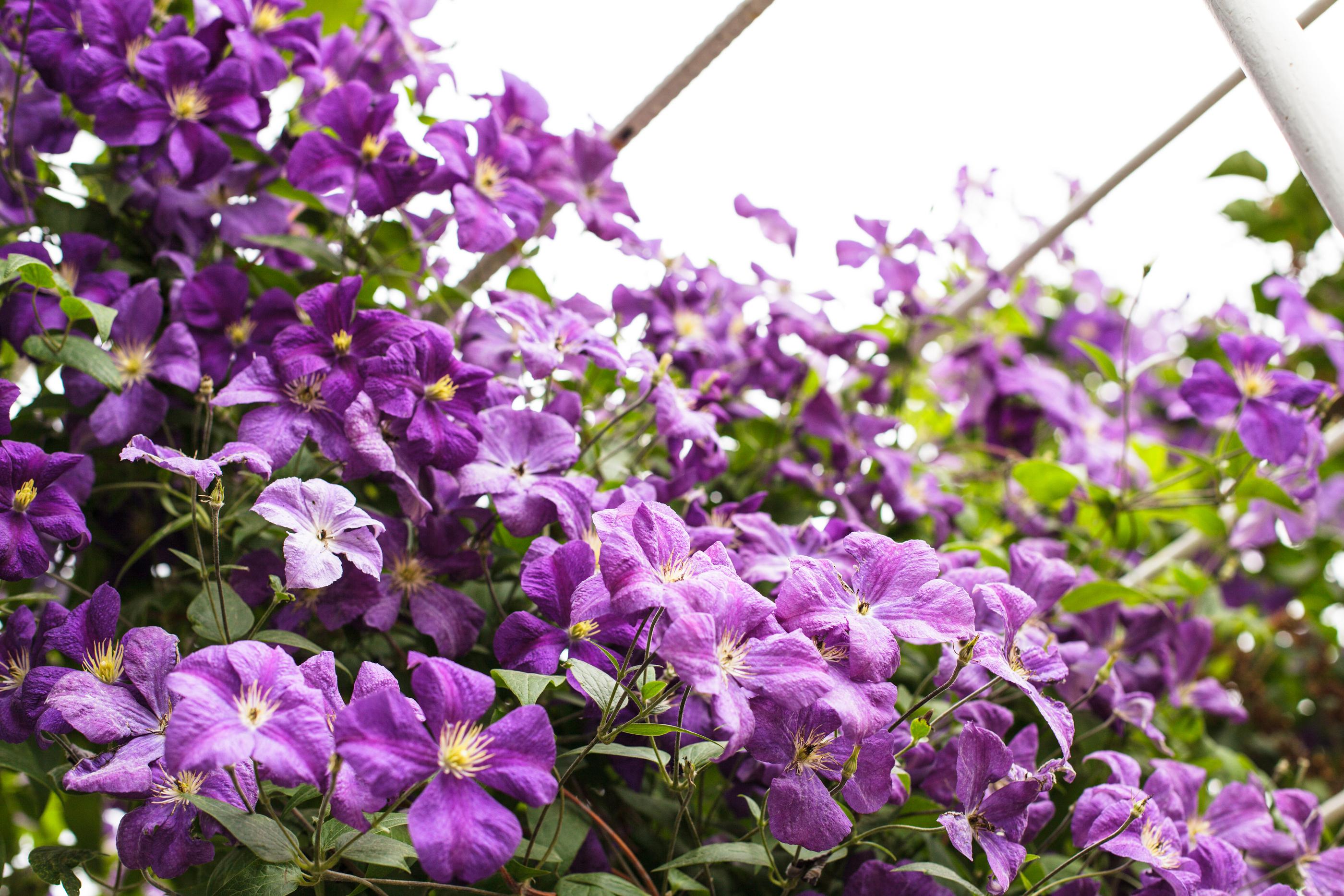Powojnik - Jesienne kwiaty Clematis